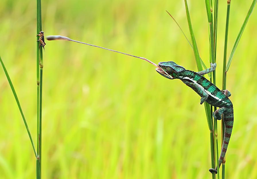 跳舞的青蛙 印尼摄影师拍摄经典动物特写