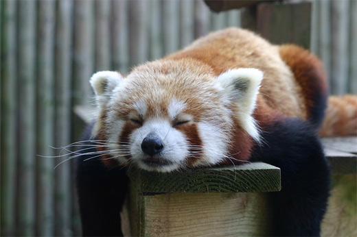 【高清图】 萌翻全场的可爱的小熊猫精彩摄影作品图1