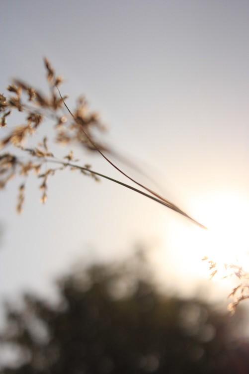 阳光中的麦穗 唯美意境花草摄影图片赏
