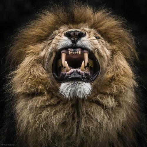 南非狮是世界上最大的猫科动物