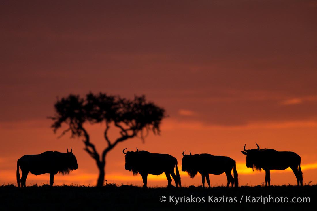 【高清图】夕阳下的非洲大草原