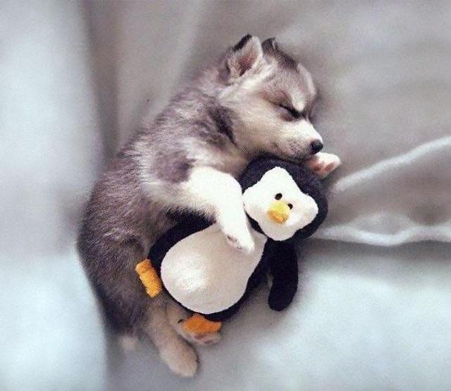 小朋友抱玩偶睡觉视乎是天经地义的事情,而萌翻的小动物们如果抱着玩偶睡觉是一种怎样的姿态呢?平常清醒的小孩常常顽皮到让你抓狂,但在睡觉的时候,似乎瞬间变为天使。许多朋友都养过宠物,你有帮自家的宠物们买过玩具吗?它们是否也抱着玩具睡觉呢?不管是小朋友,还是小动物,为什么会抱着玩偶睡觉呢,一部分是因为这样会让他们产生安全感,抱着玩偶睡觉会更安稳。   不过对于狗狗来讲,有些是因为太早断奶,太早离开妈妈,从而缺失安全感,这时玩偶扮演着妈妈的角色,带来充足的安稳,直到狗狗成年。不过有的狗狗成年后依然依赖玩偶,似