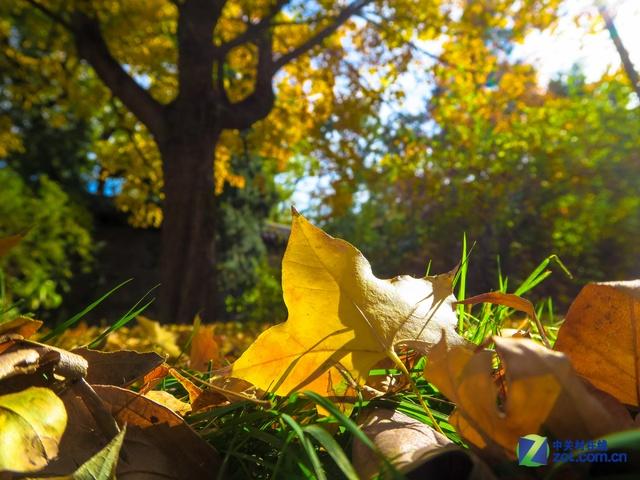 记录深秋的银杏树叶 佳能g7 x样张图赏