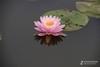 睡莲一组 ZOL网友优秀花卉照片赏析