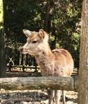 特别亲人追着要吃的 手机拍摄奈良的鹿
